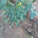 pianta di pomodoro con foglie arricciate