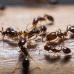 rimedi-eliminare-formiche